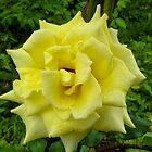 Yellow Rose Wild by pcfyi