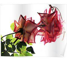 A  Pair of beautiful Roses. Poster
