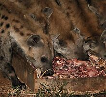 Spotted Hyena Scavenging at Night by Carole-Anne