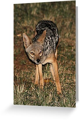 Side-striped Jackal at Night by Carole-Anne