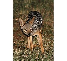 Side-striped Jackal at Night Photographic Print