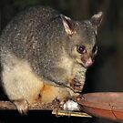 Young Female Brushtail Possum by Carole-Anne