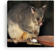 Young Female Brushtail Possum Canvas Print