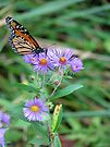 The Merry Aster Monarch by Ron Russell