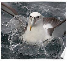 Buller's Albatross Poster
