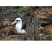 Laysan Albatross Photographic Print