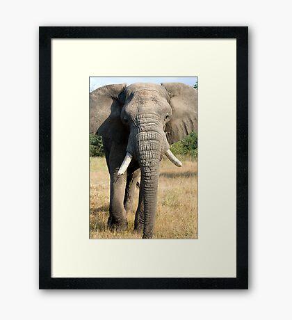 Bull Elephant In Full Musth Framed Print