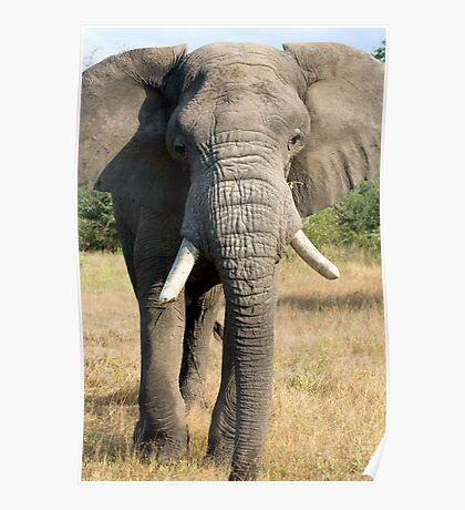 Bull Elephant In Full Musth Poster
