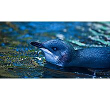 Little blue Penguin Photographic Print