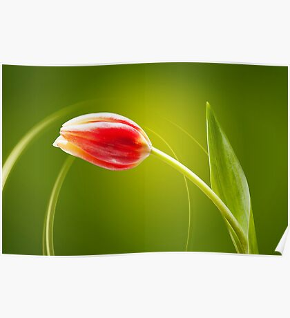 Tulip in rays of light Poster