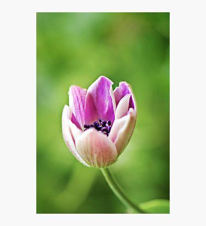 Anemone opening up Photographic Print