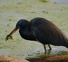 Blue Heron Having Lunch by Diego Re