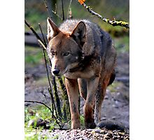 Red Wolf On The Prowl Photographic Print