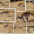 Kangaroos  Hopping by alycanon