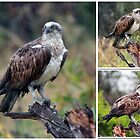 Ospreys in the Rain by alycanon