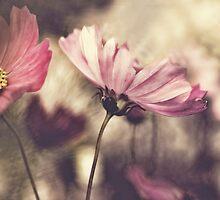 Pink Cosmos by yolanda