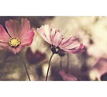 Pink Cosmos Photographic Print