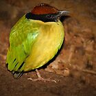 Noisy Pitta by Geoffrey Higges
