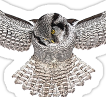 Hawk Owl Sticker