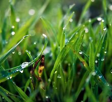 Dew Drop Grass by Vicki Field