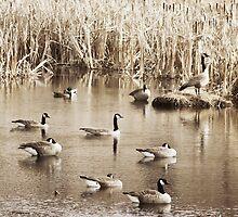 Duck, Duck, Geese by KBritt