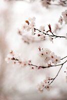 Cherry Plum Blossom by Anne Gilbert