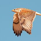 Ferruginous Hawk by Marvin Collins