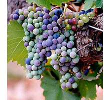 Grapes Ready for Harvest Photographic Print