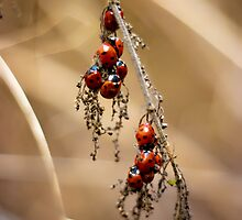 Ladybug Gathering  by Vicki Field
