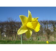 Yellow Daffodil and Blue Sky Photographic Print