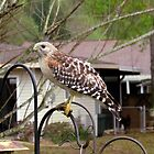 Urban Red Shouldered Hawk by Judy Wanamaker