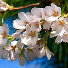 Yoshino Cherry Blossoms by BluePhoenix