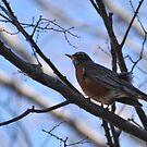 Spring Robin by Robin Lee