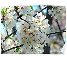 Cherry Blossom Time II Poster