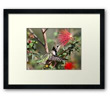 A Taste for Nectar  Framed Print