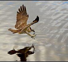 Osprey 410 by John Van-Den-Broeke