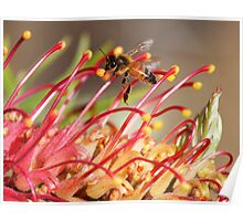 Bee on Robyn Gordon Grevillea Poster