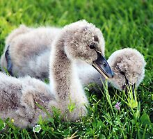 Black Swan Cygnets by alycanon