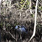 Ibis in the Mangroves by Noel Elliot