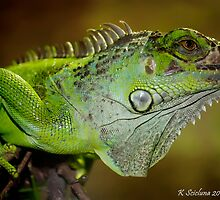 Staring iguana by bluetaipan