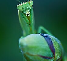 Preying Mantis by Andrew Berends