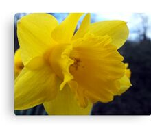 Daffodils At Beeston Tor Canvas Print