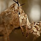 Leaf Skeleton by Vicki Field