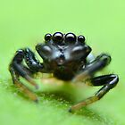 Jumping Spider by musleam