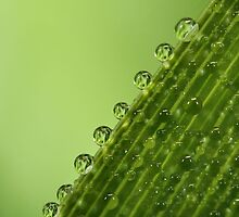 Fresh Green Dew Drops by Sharon Johnstone