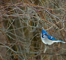 Blue Jay by Richard Lee