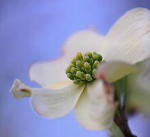 Dogwood in springtime by LynnRoebuck