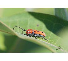 The Red Milkweed Beetle Photographic Print