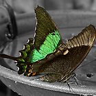 Green - banded Swallow tail by AmandaJanePhoto