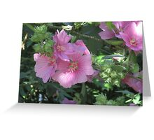 Pink Lavatera Greeting Card